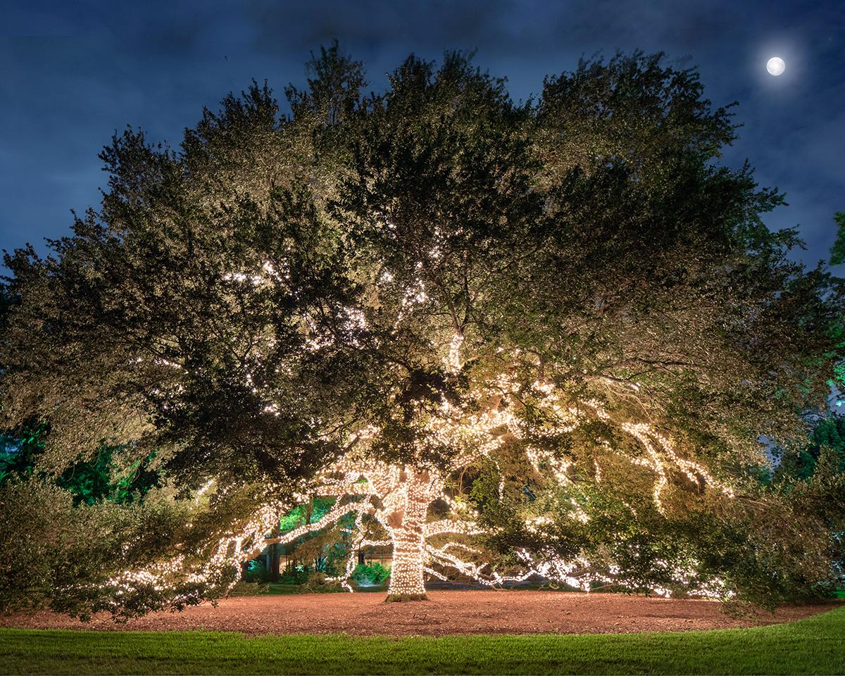 oak tree at The Houstonian